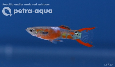 6053 01 Poecilia endler male red rainbow