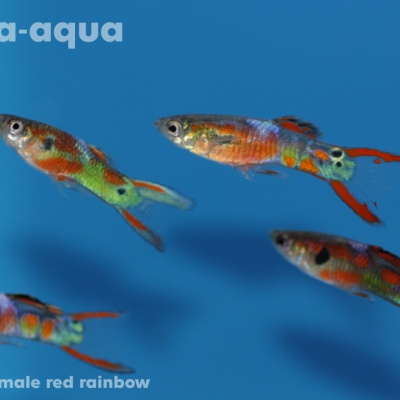 6053 04 Poecilia endler male red rainbow