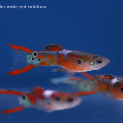 6053 06 Poecilia endler male red rainbow