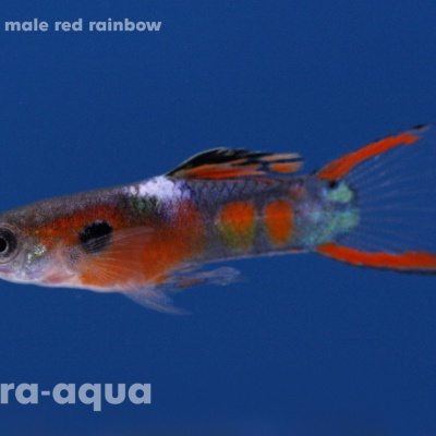 6053 07 Poecilia endler male red rainbow