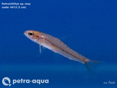 4413 01 Petruichthys sp.rosy