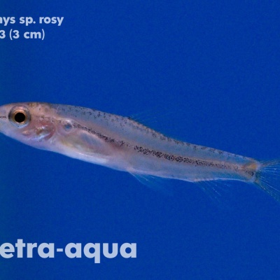 4413 03 Petruichthys sp.rosy