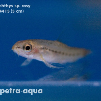 4413 04 Petruichthys sp.rosy