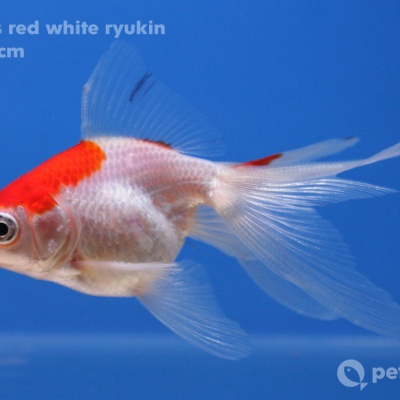 C265 01 red white ryukin