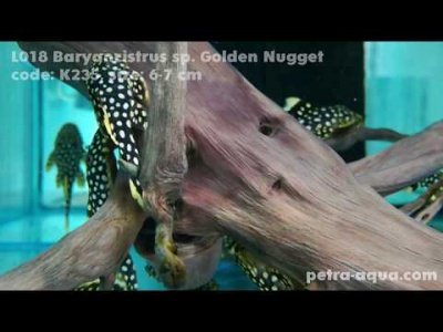 K235 Baryancistrus golden nugget