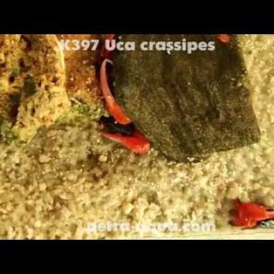 K397 Uca crassipes (Thick-legged Fiddler Crab)