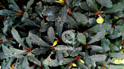 P150 Bucephalandra black spear